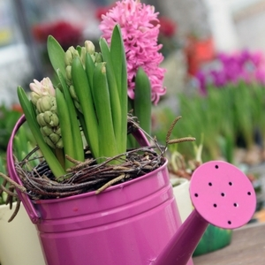Hyacinth in a Pink Watering Can